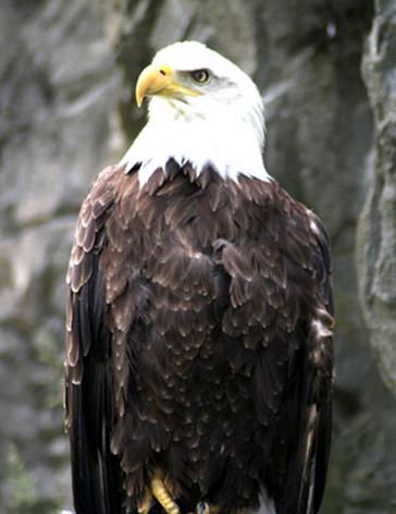 bald eagle facts sitting bald eagle
