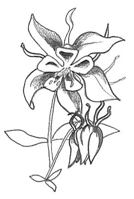 flower sketches aquilegia