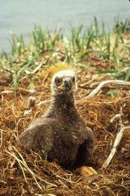 balc eagle chick in nest