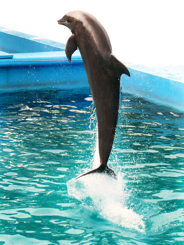 dolphin facts jumping dolphin