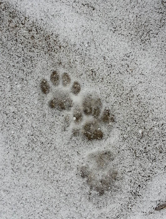 cat paw prints in snow