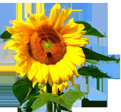 sunflower stalk