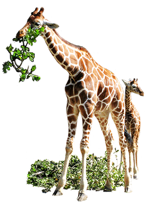 giraffe clip art eating leaves