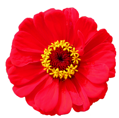 red flower yellow stamens
