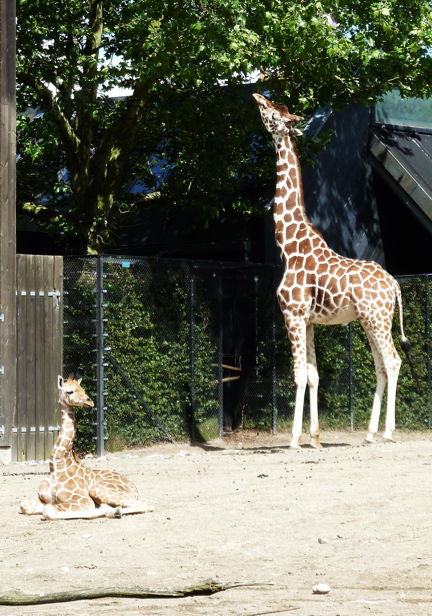 young giraffe in zoo laying down