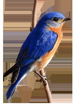 bird clip art plaga