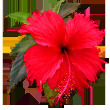 flower clip art hibiscus