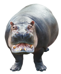 cut out picture of hippo looking at you