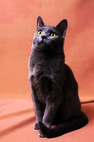 Egyptian-cat