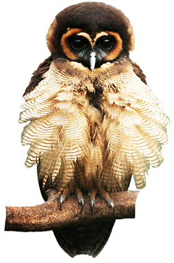 Brown wood owl picture