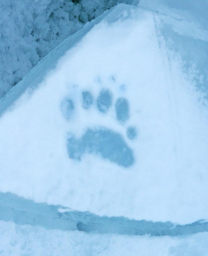 paw print in ice of polar bear