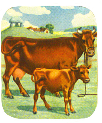 Image of red cow and calf