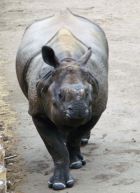 Picture of Indian rhino in zoo