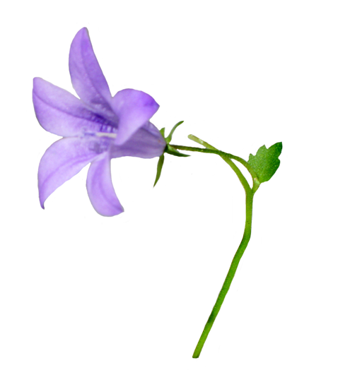 clip art of bellflower