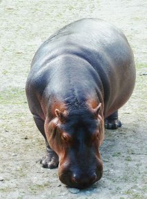 Frontal hippo pictures