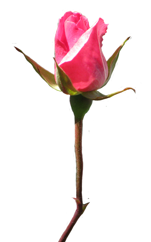 Rose clipart rosebud pink