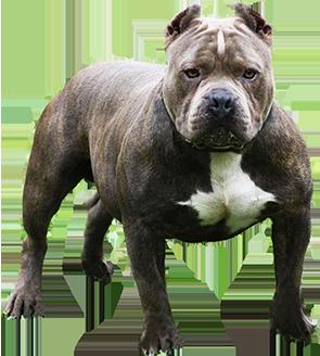 American Pitt Bull Terrier
