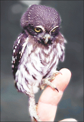 pygmy owl photo