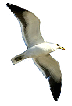 seagull graphic