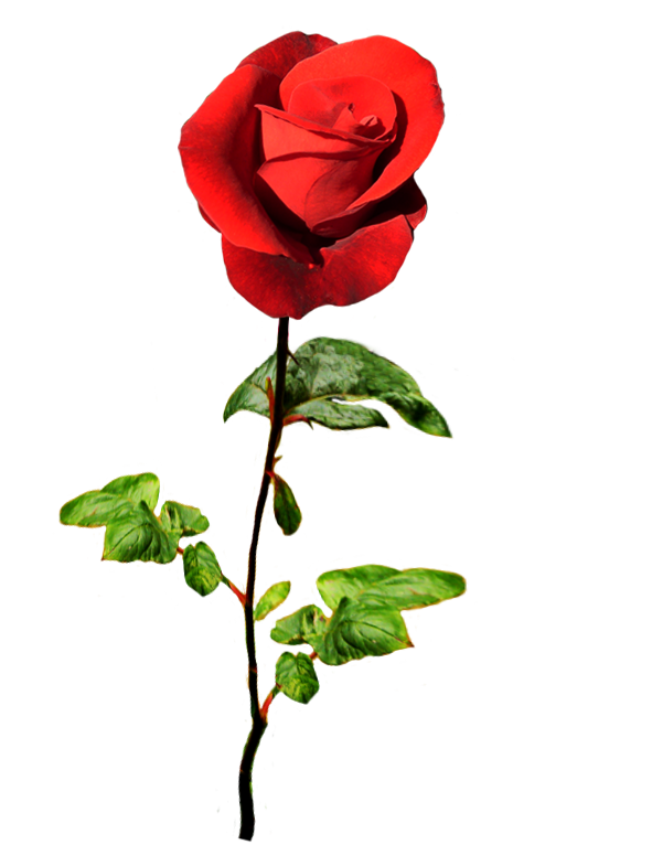 red rose for a Valentine greeting