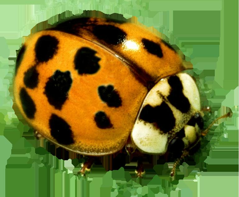 Yellow Ladybug beetle