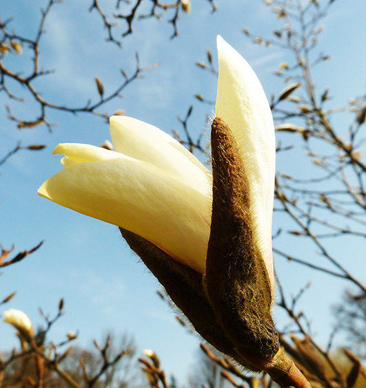 Magnolia flower opens in spring