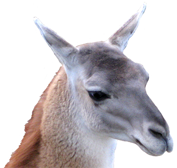 clip art of lama head