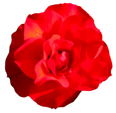 Head of red rose