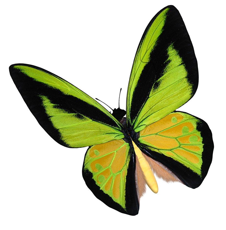 yellow birdwing butterfly clipart