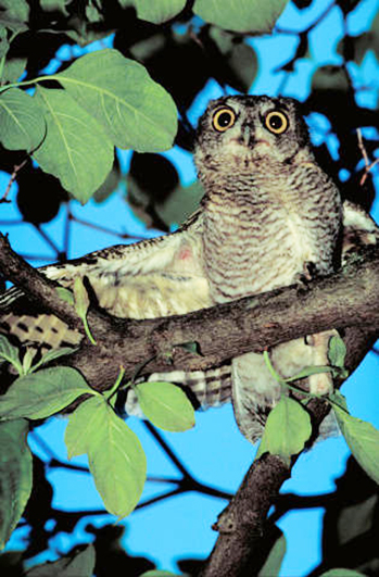 Screech owl photo