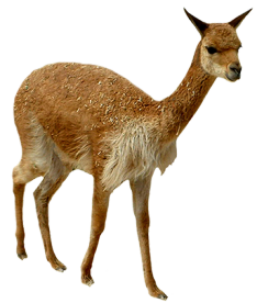 young lama picture clip art