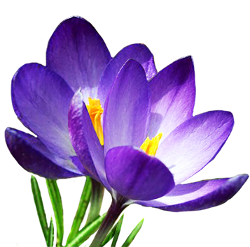two blue crocus in spring
