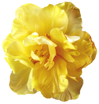 yellow tulip head
