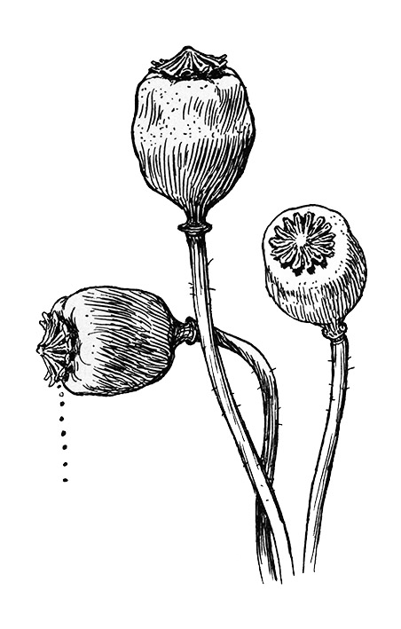Poppy heads sketch
