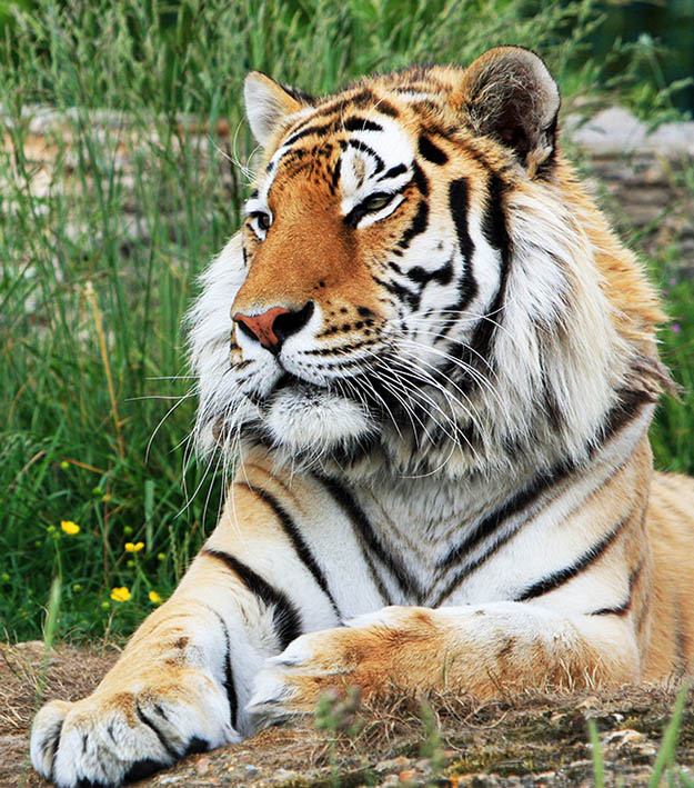 beautiful tiger picture