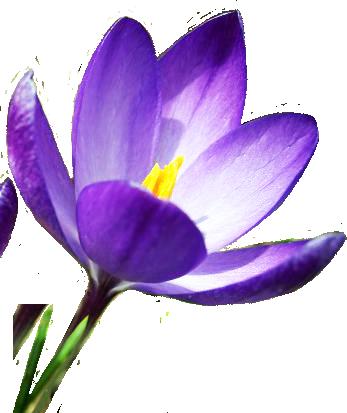 blue crocus in spring