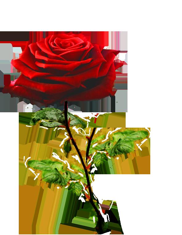 beautiful Valentine rose
