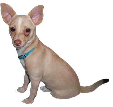 clip art of small dog with blue collar
