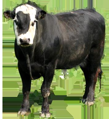 bull clip art