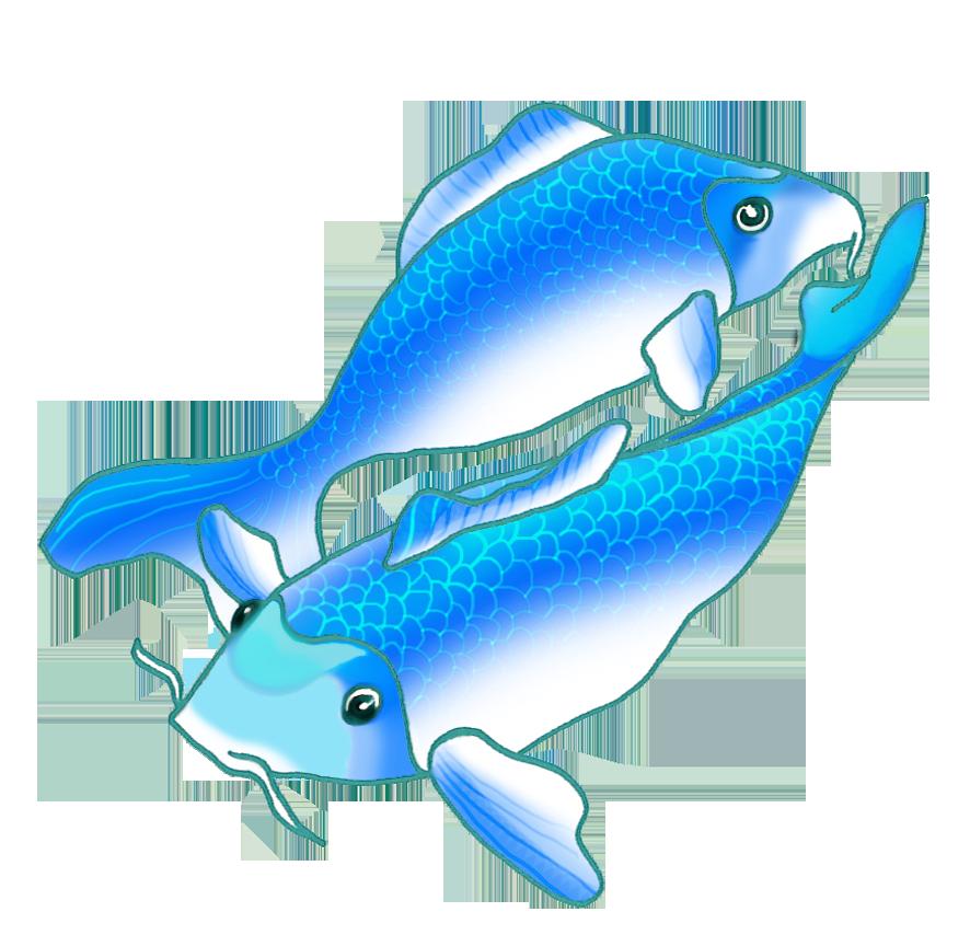 two blue koi fish swimming
