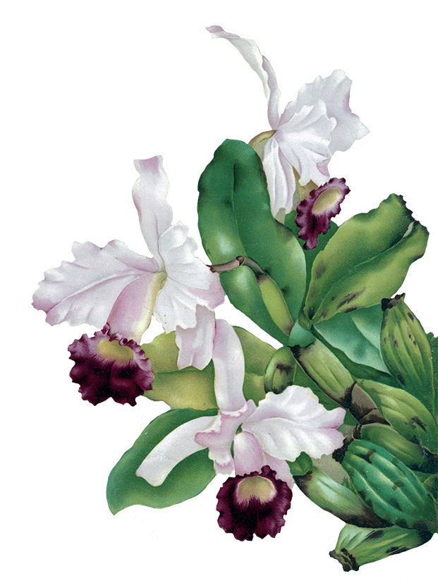orchid for scrapbooking