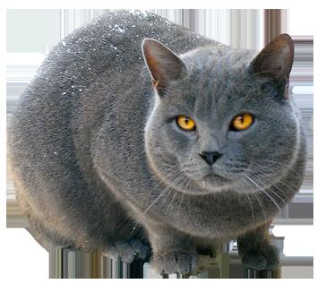 cat clipart Chartreux Bonheur with snow