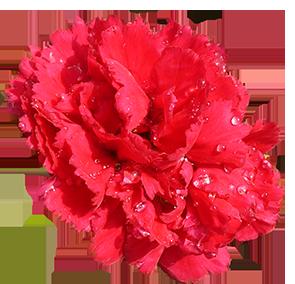 carnation flower red