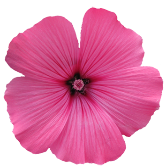 soft purple flower graphic