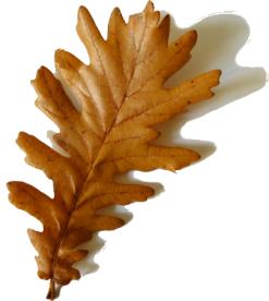 oak leaf with shadow