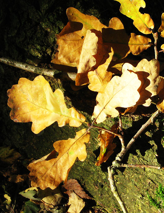 oak leaved in the fall