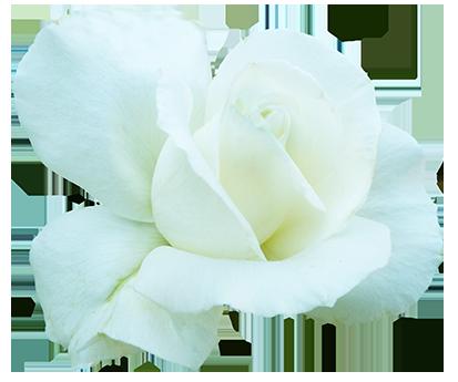white rose for Valentine's Day