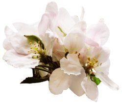 spring clipart apple blossom