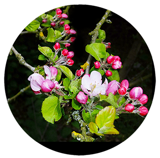 apple blossom tree in spring