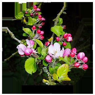 apple blossom tree in spring